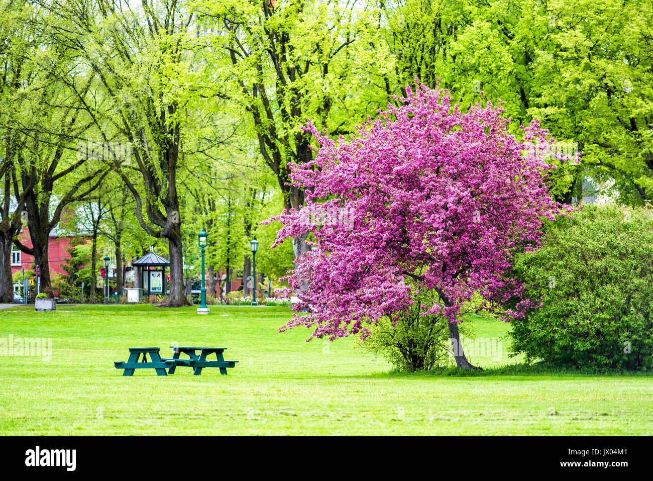Colorful pink or purple crabapple tree in green plaines d\'Abraham ...