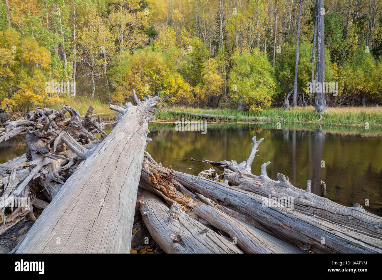 Dead redwood trees and the fall foliage along the river bend at June Lake Loop, June Lake, Eastern Sierra Nevada Stock Photo