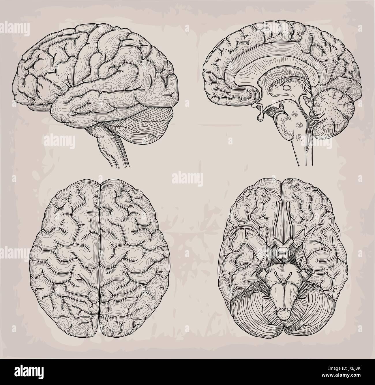 Anatomical Brain human illustration. Medicine, Vector illustration ...