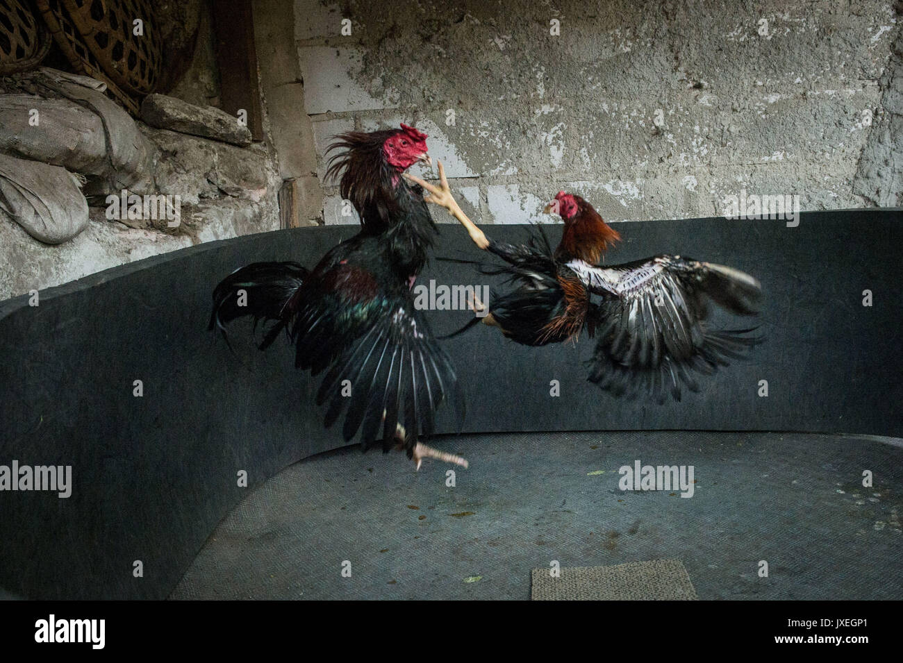 Live Cock Fights