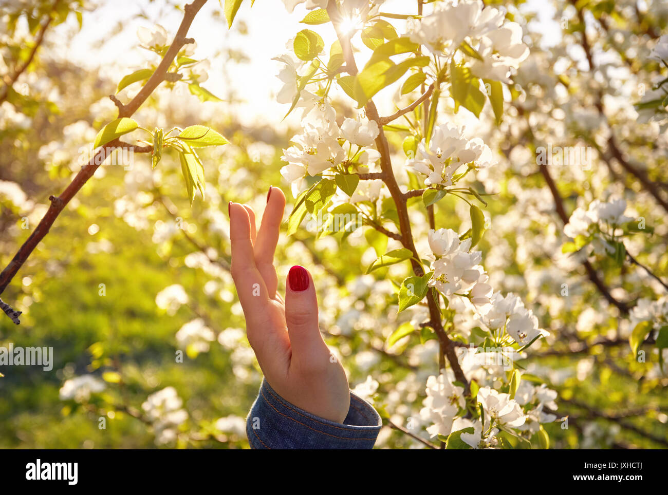 woman touching flowers of blossom cherry by her hand spring