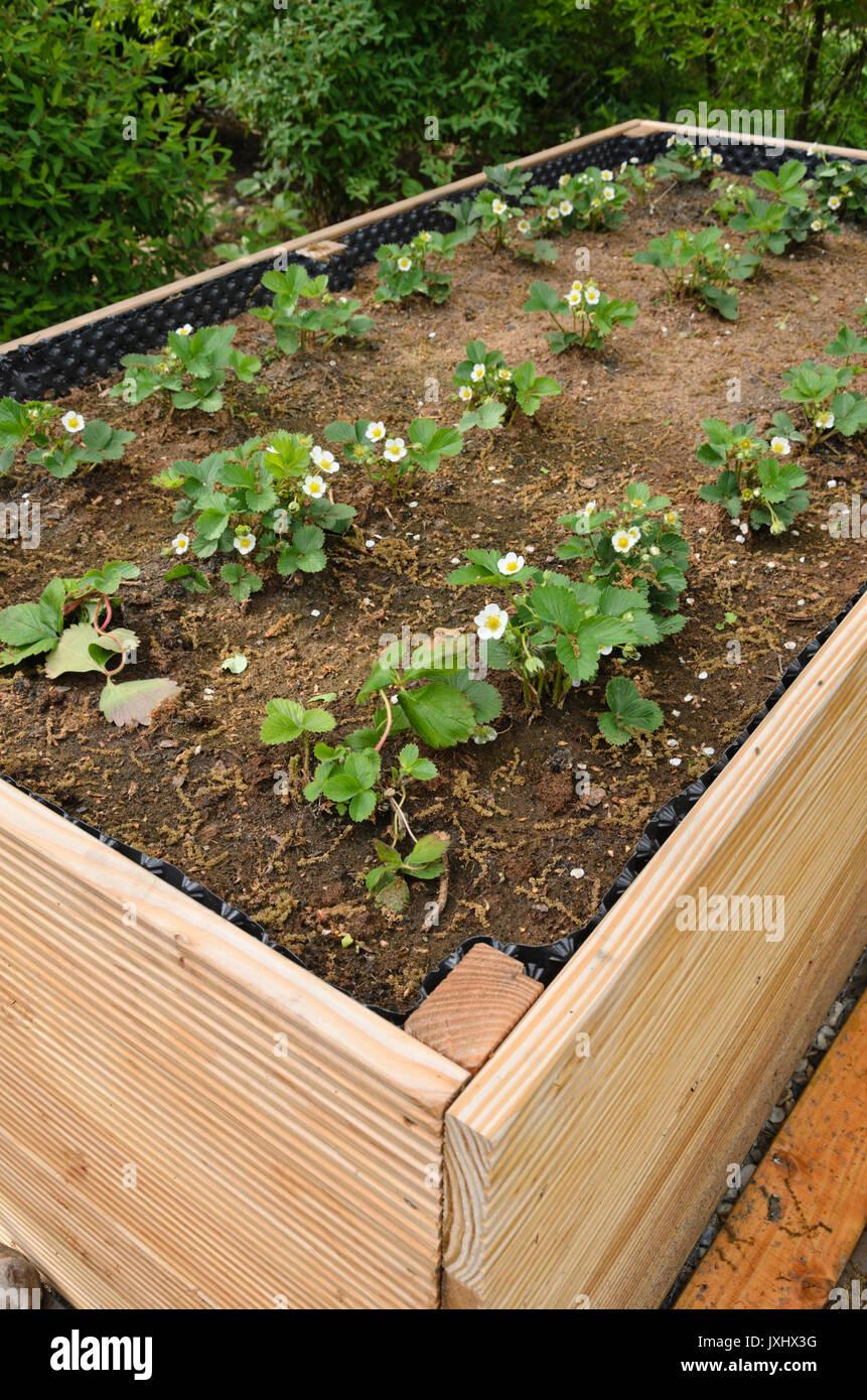 Garden strawberry (Fragaria x ananassa) in a raised bed. Design ...