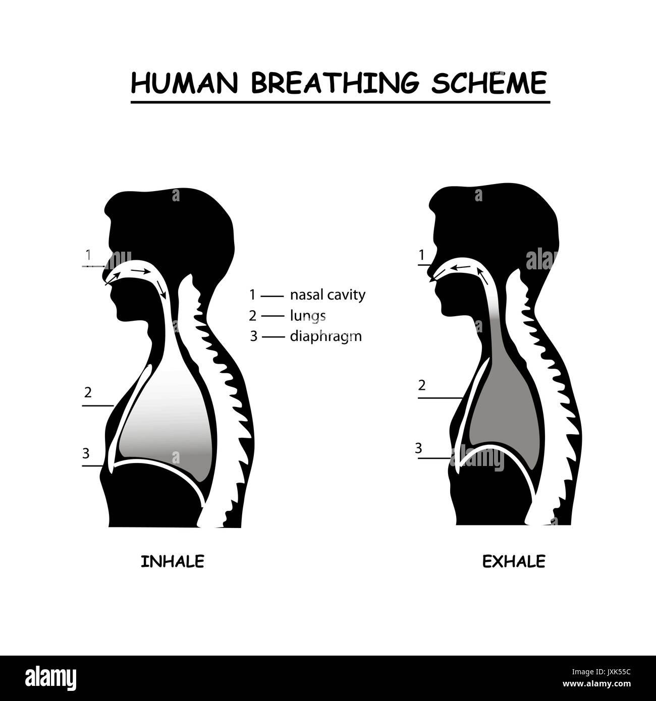 Human Breathing Scheme Info Graphic In Monochrome Stock Vector Art Inhalation And Exhalation Diagram Inhalingdiagram