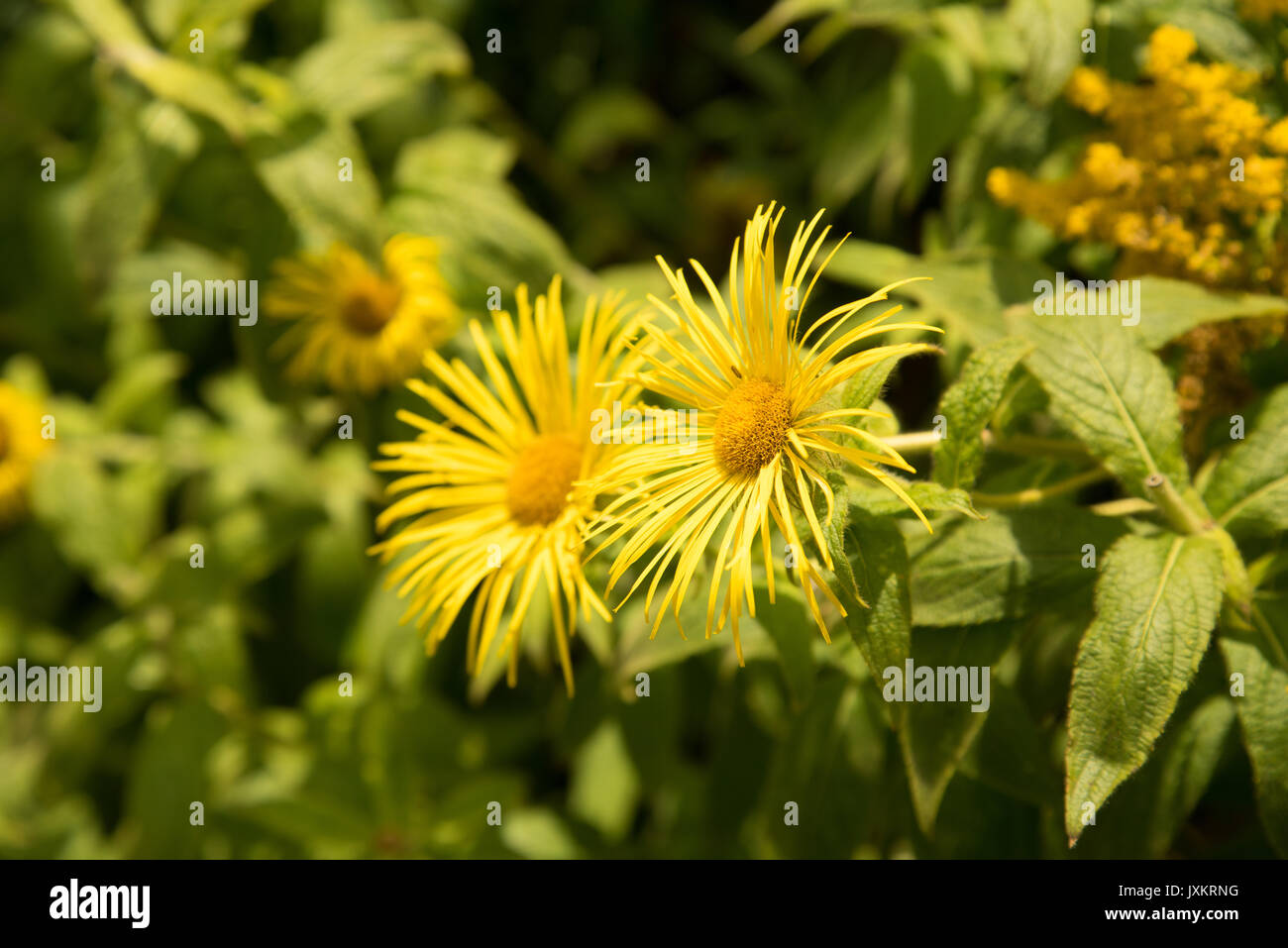 Yellow Aster Flowers In An English Country Garden Stock Photo