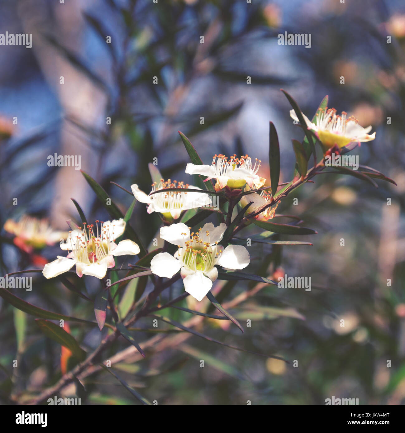 Australian Native Shade Plants: Australian Native Plant Stock Photos & Australian Native