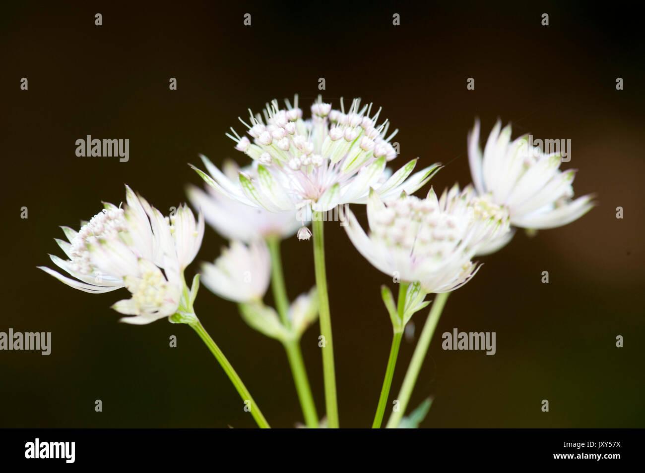 Soft White Flowers Species Unknown Possibly Allium Zarnesti Stock