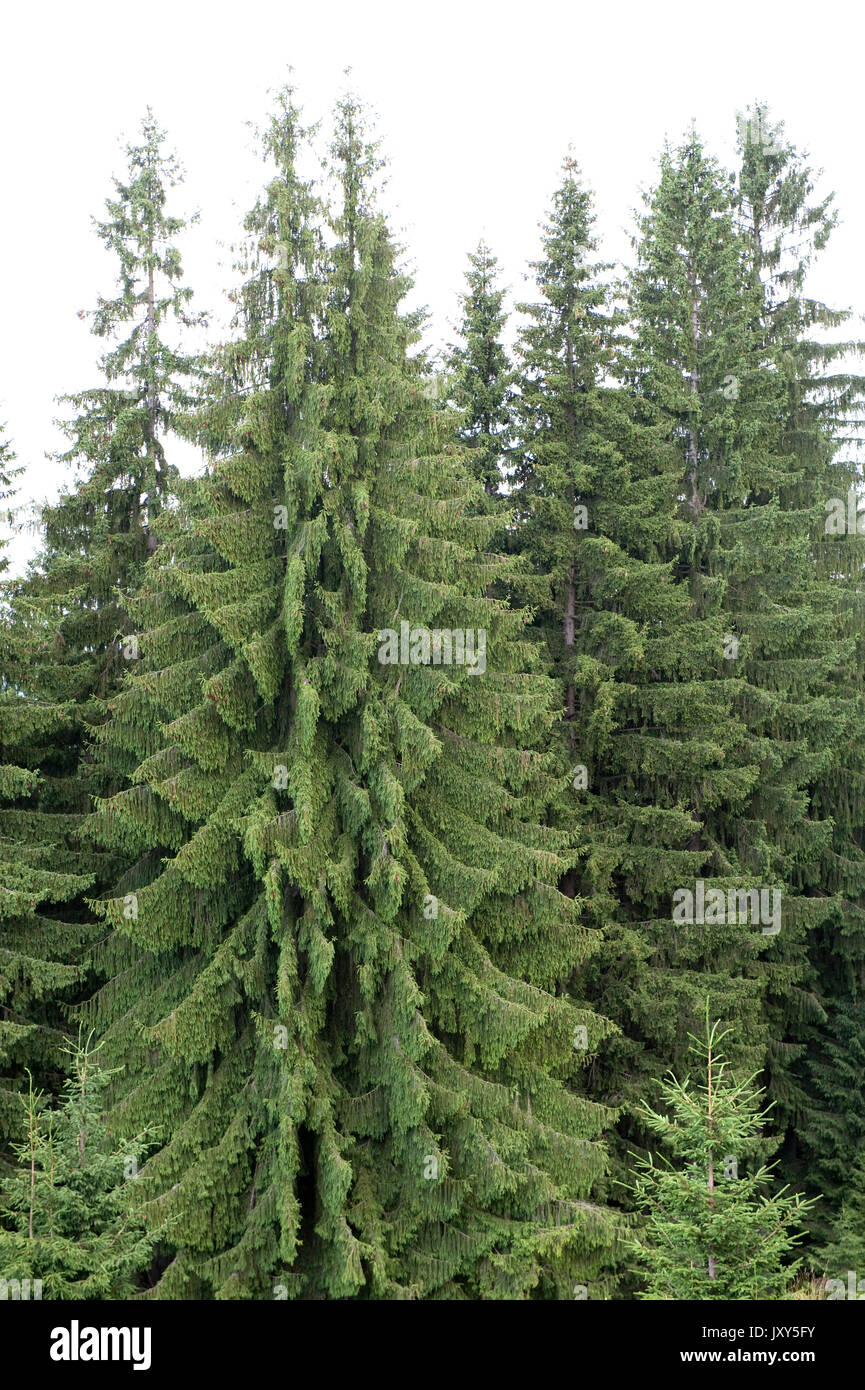 Brewers Weeping Spruce Picea Breweriana Bucegi Mountains Romania Large Evergreen Coniferous Tree Vulnerable IUCN Red Data List