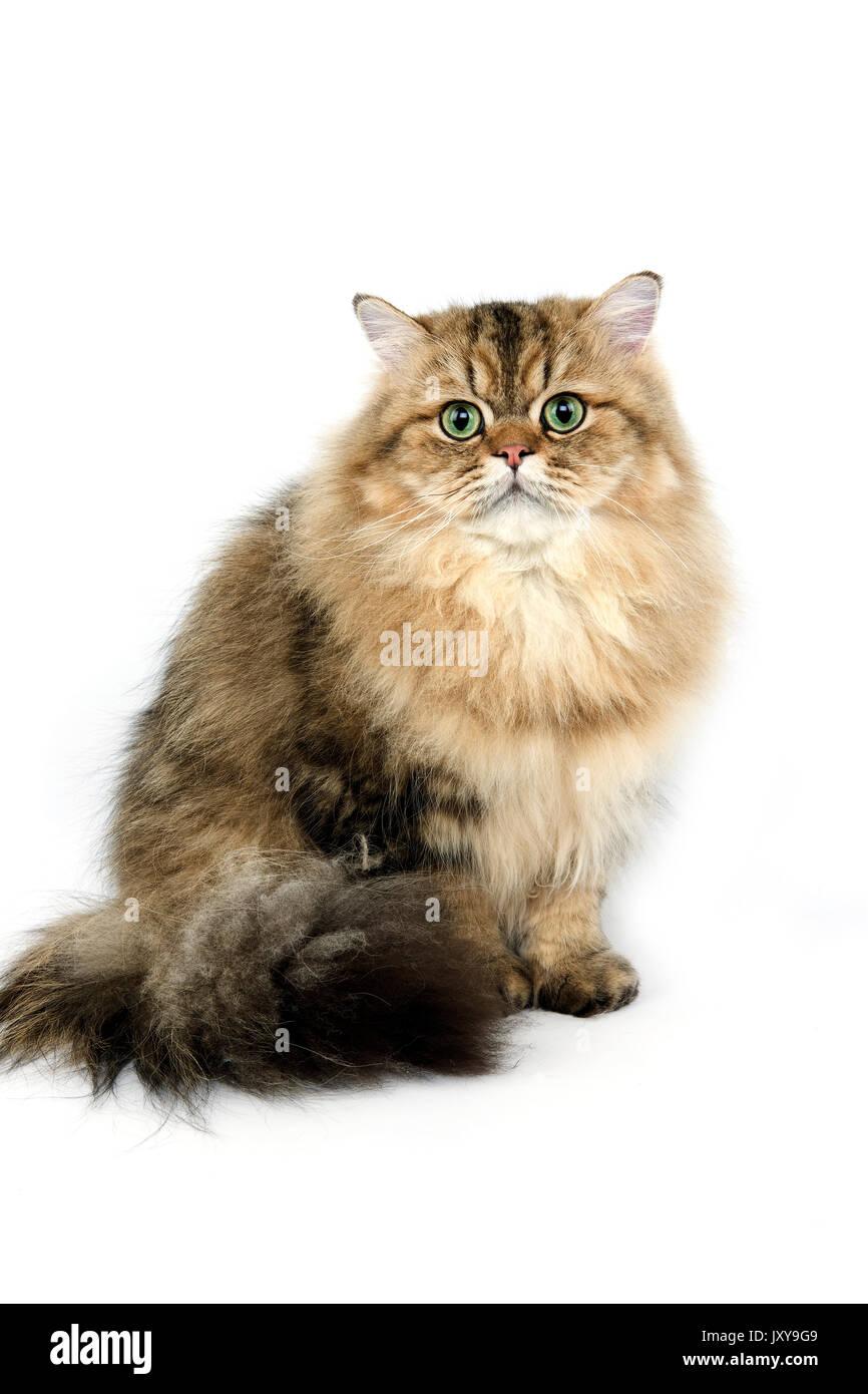Golden Persian Domestic Cat Sitting Stock s & Golden Persian