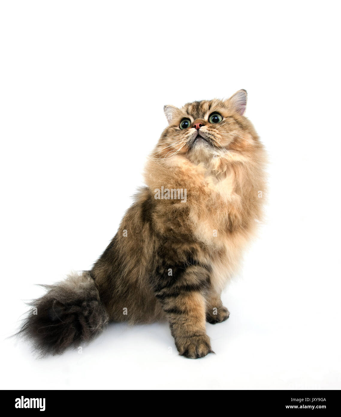 GOLDEN PERSIAN CAT ADULT AGAINST WHITE BACKGROUND Stock