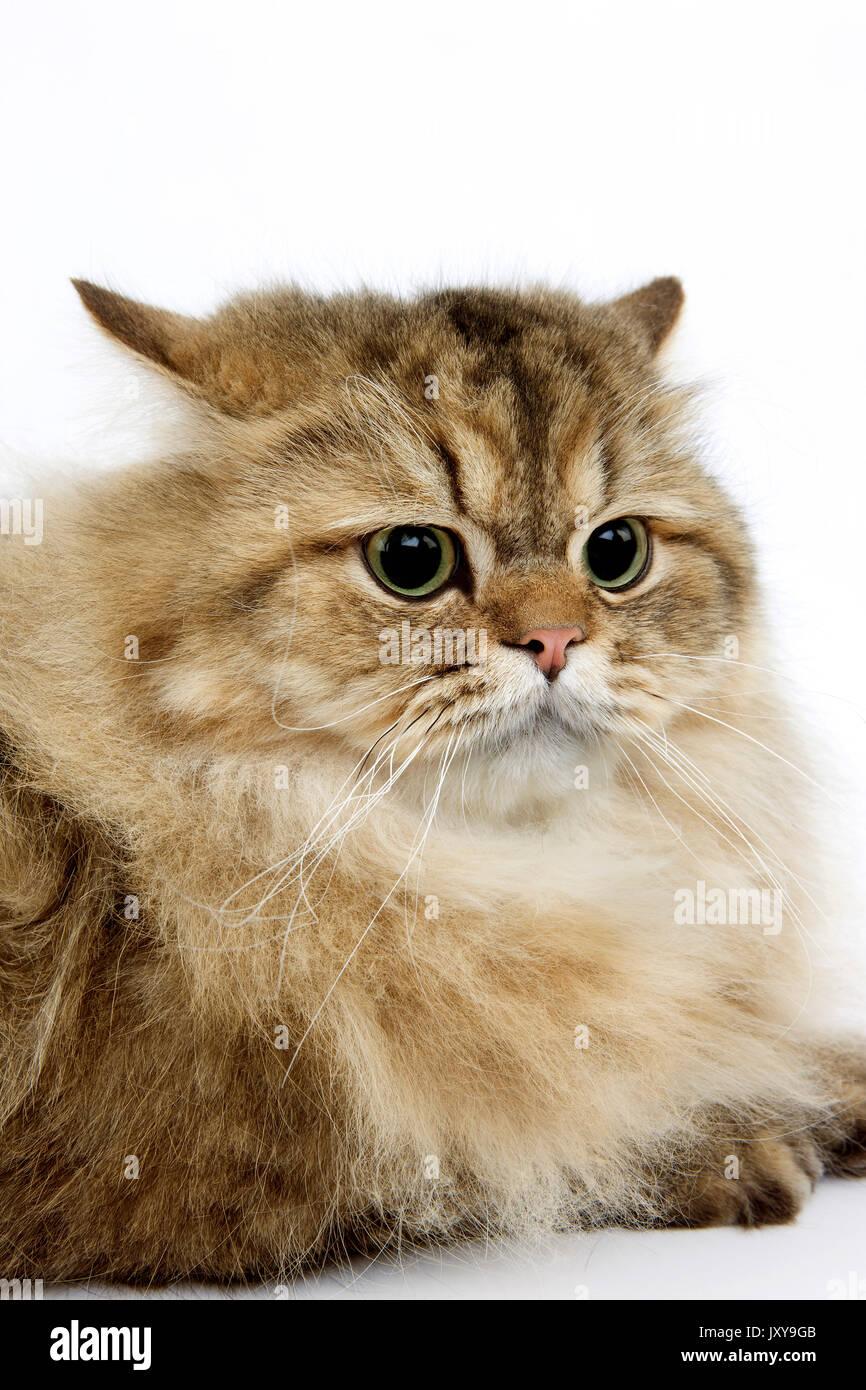Golden Persian Cat Stock s & Golden Persian Cat Stock