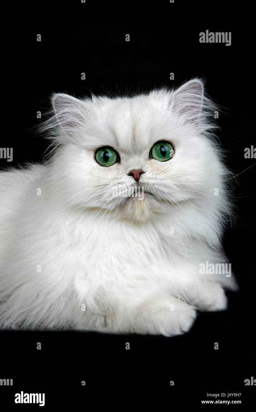 CHINCHILLA PERSIAN CAT ADULT WITH GREEN EYES Stock Royalty