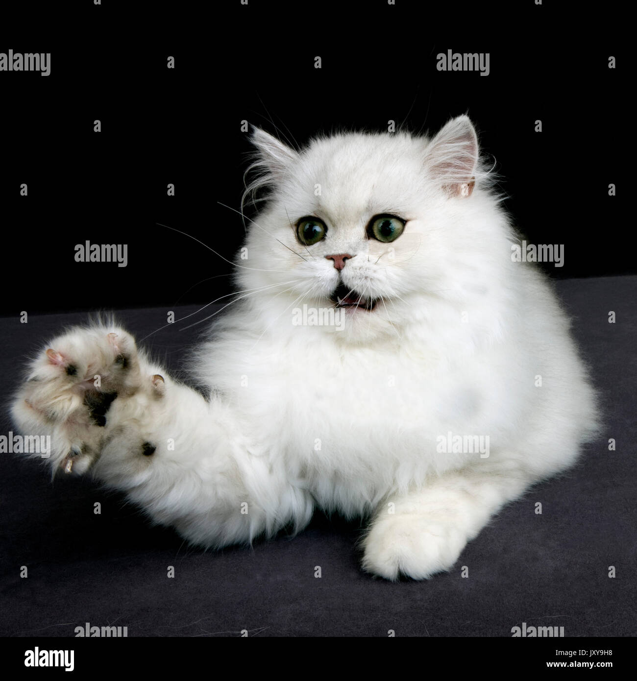 CHINCHILLA PERSIAN CAT ADULT WITH GREEN EYES HOLDING UP IT S PAW