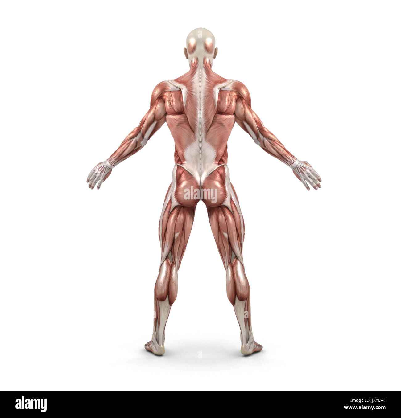 Rear View Of The Male Muscular System This Is A 3d Render Stock
