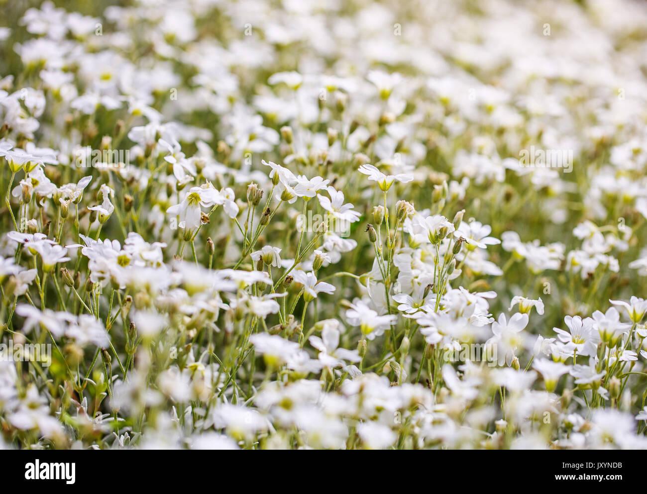 Field of a beautiful white flowers daisies stock photo 154273543 field of a beautiful white flowers daisies mightylinksfo