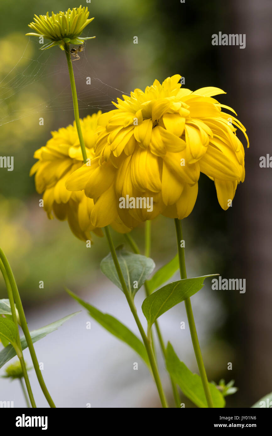 Double Yellow Flowers Of The Late Summer To Autumn Flowering Stock