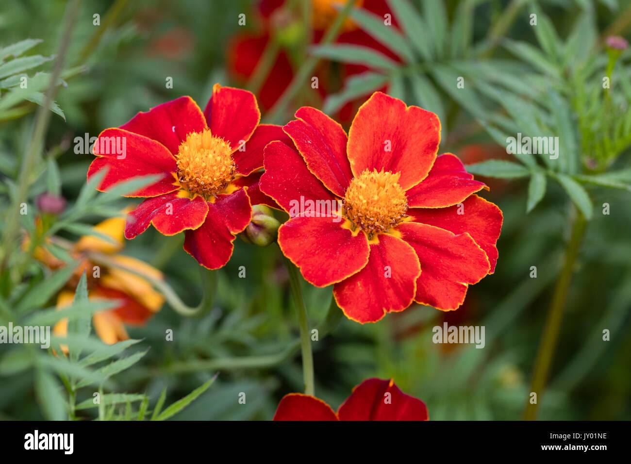 Orange rimmed red flowers of the half hardy annual tagetes linnaeus orange rimmed red flowers of the half hardy annual tagetes linnaeus tagetes patula linnaeus izmirmasajfo