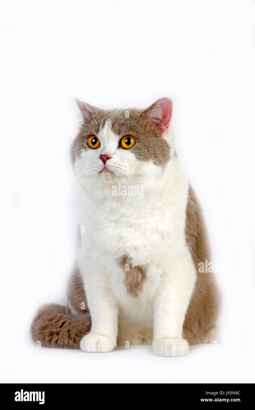 Lilac And White British Shorthair Domestic Cat Stock s