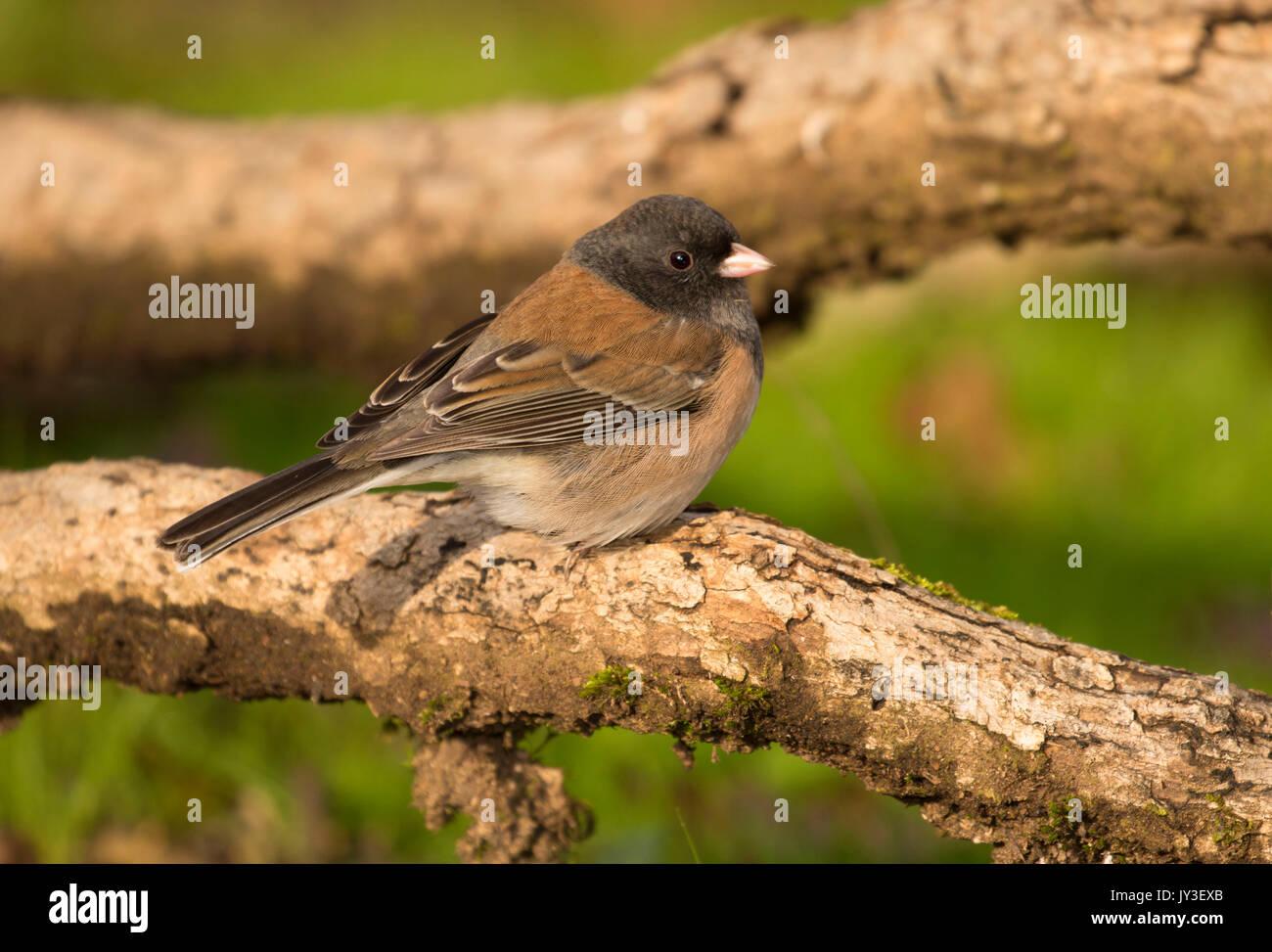 oregon junco stock photos u0026 oregon junco stock images alamy
