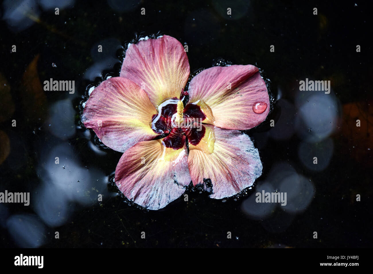 Hibiscus Flower In Water Stock Photo 154375526 Alamy