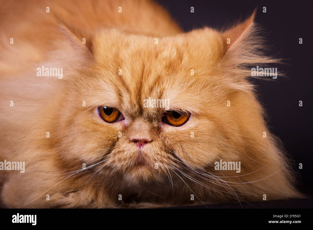 Orange persian cat on black background looking in camera Stock