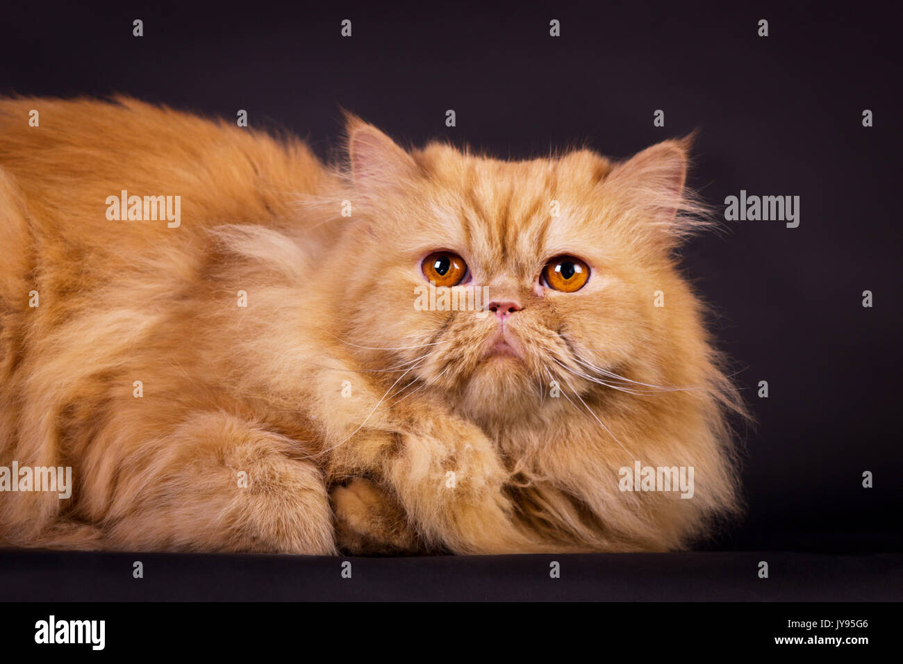 Persian Cat Orange Eyes Stock s & Persian Cat Orange Eyes