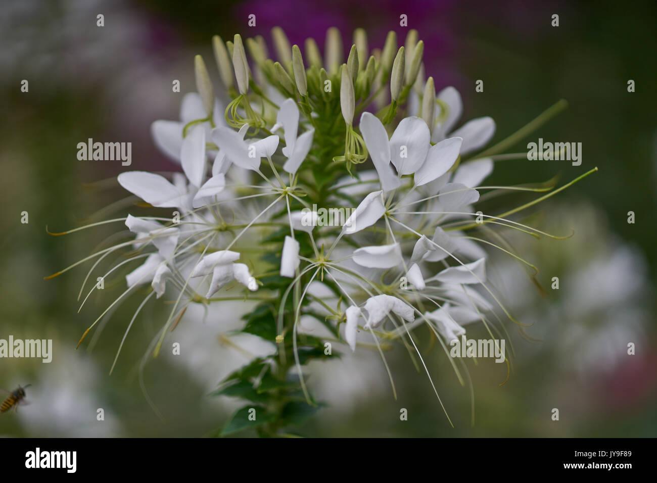 White Cleome Hassleriana Pink Spider Flower Spider Plantpink