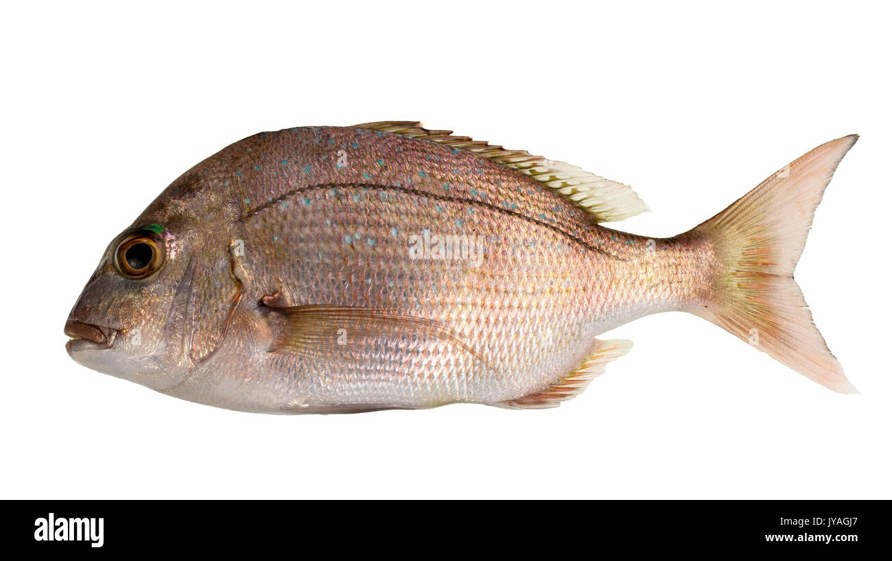 sexy headed snapper red