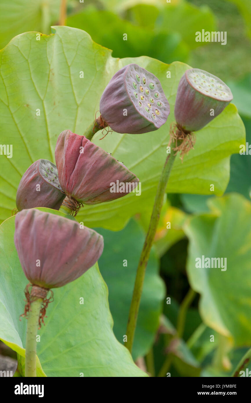 Seed Pods Of The Lotus Flower Stock Photo 154726754 Alamy