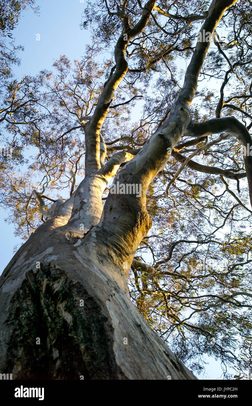 Eucalyptus tree branches