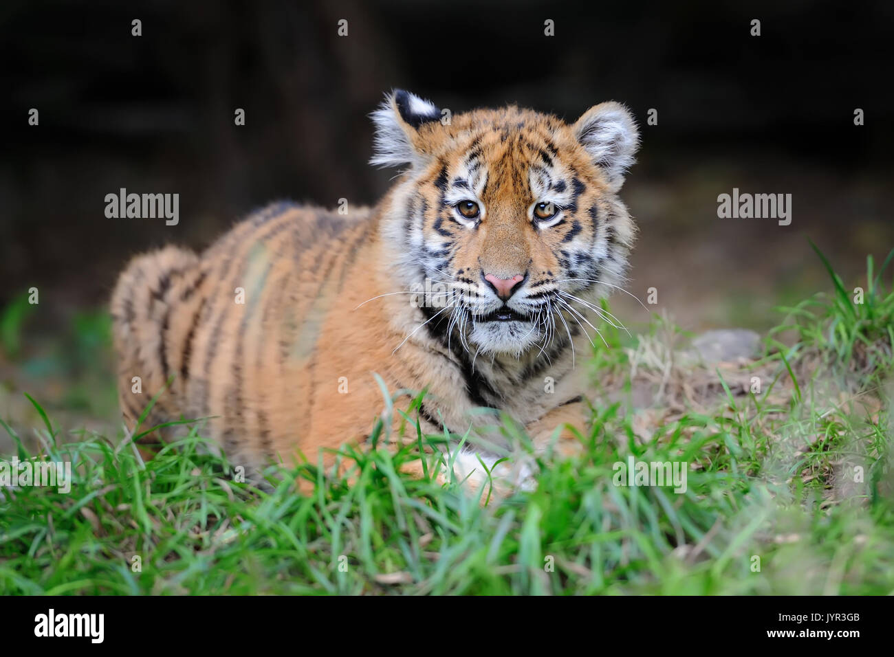 White Tiger Cub Wildlife Stock Photos & White Tiger Cub ... Cute Siberian Tiger Cubs