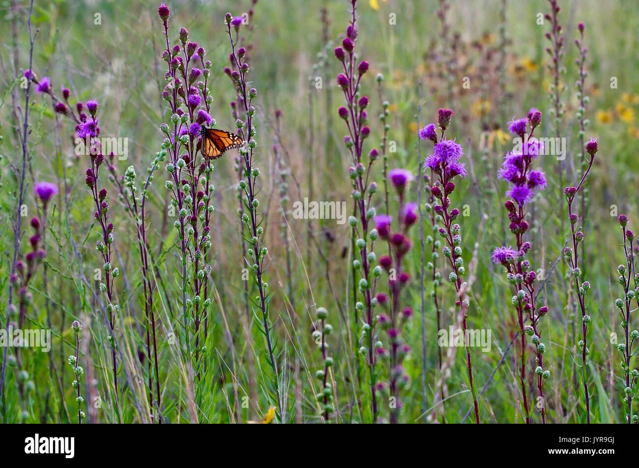 Purple Flowers Tall Stems And A Monarch Butterfly Stock Photo