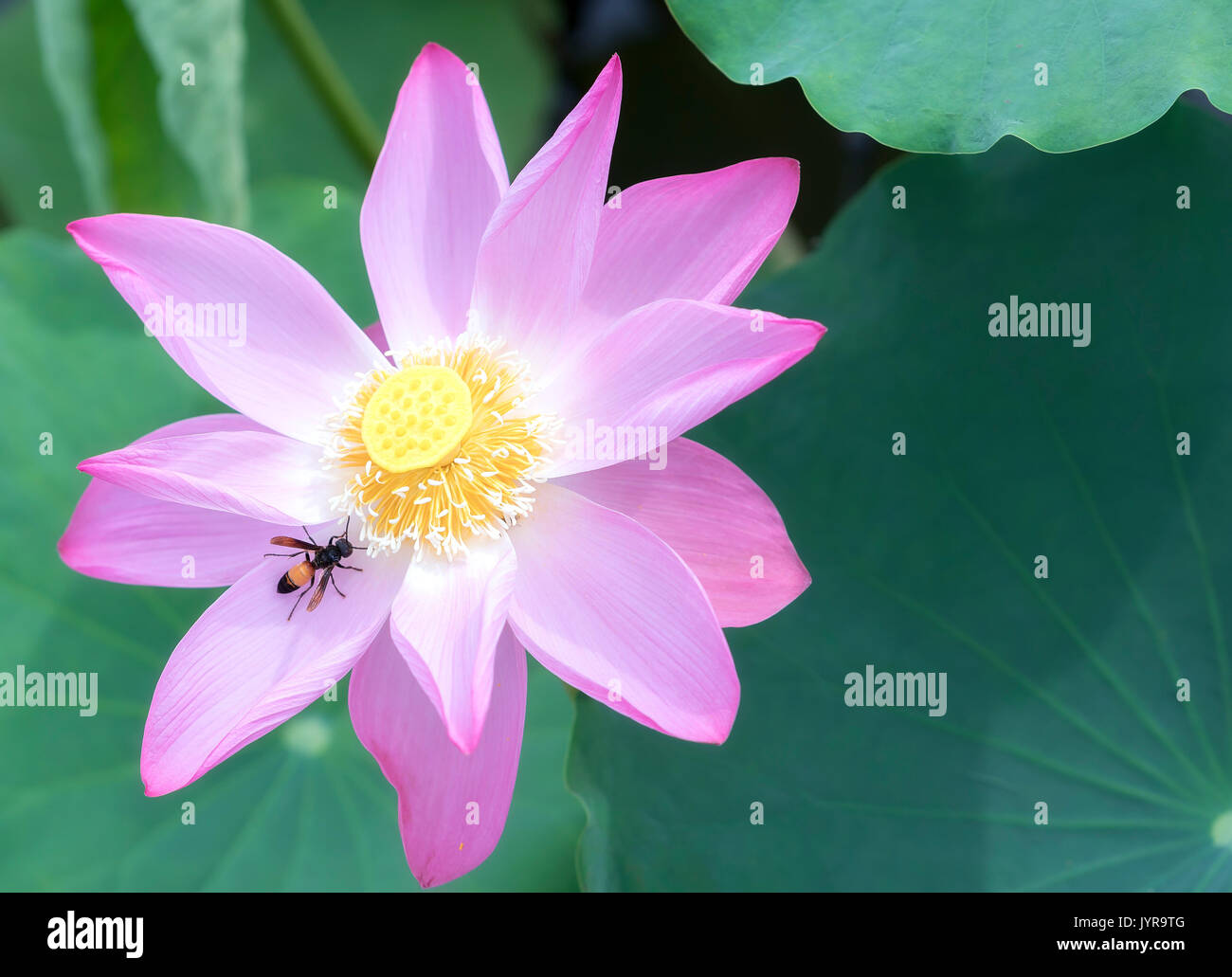 Pink lotus blossoming in the pond this is the flower symbolizes the pink lotus blossoming in the pond this is the flower symbolizes the beautiful and pure buddhism izmirmasajfo Gallery