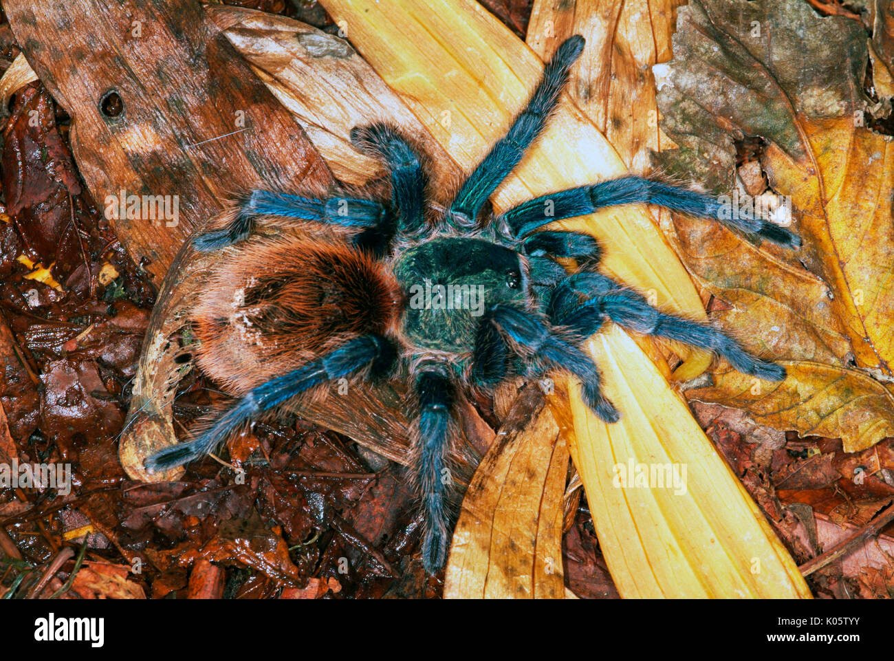 Leaf Litter Spider Stock Photos & Leaf Litter Spider Stock ...