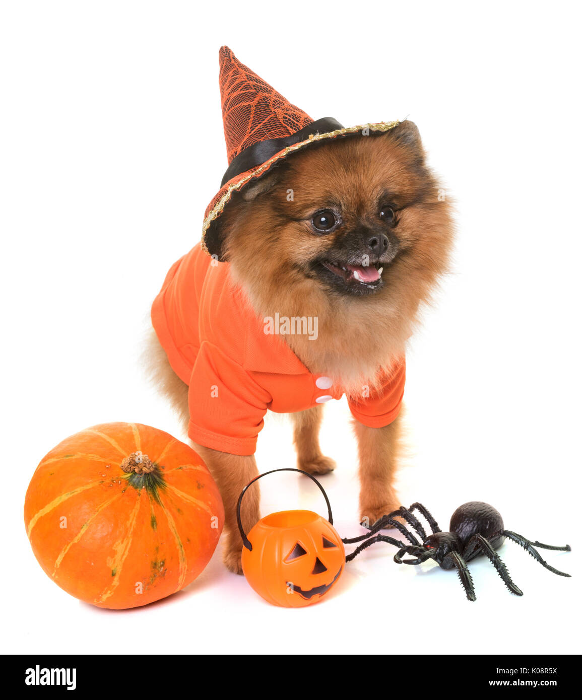 pomeranian spitz and halloween in front of white background stock