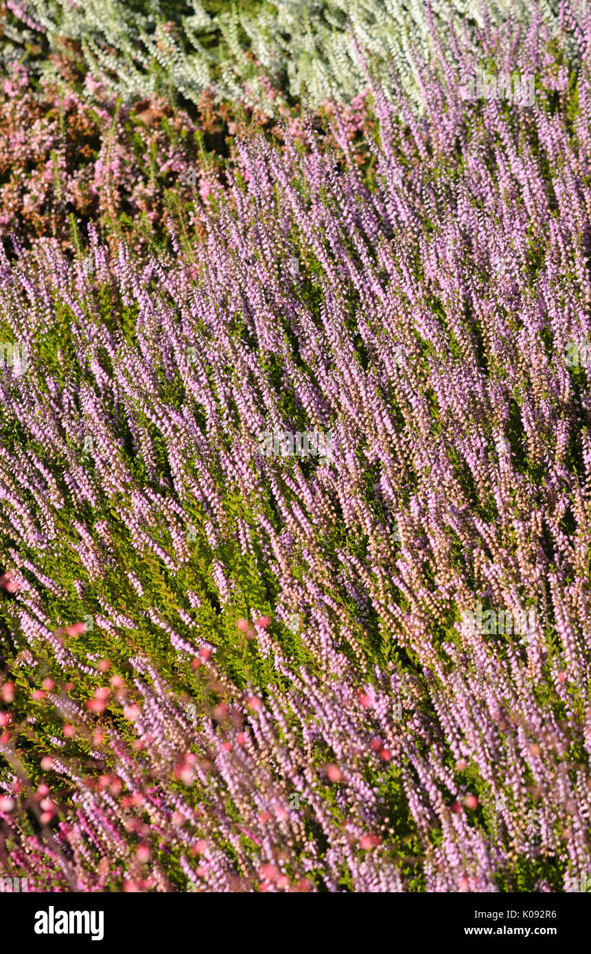 Common Heather Calluna Vulgaris Spring Torch Stock Photo