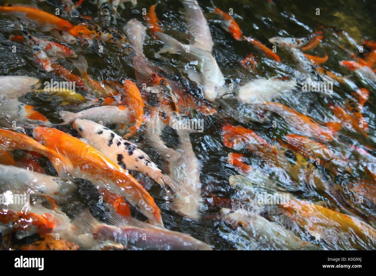Amur carp stock photos amur carp stock images alamy for Playing koi