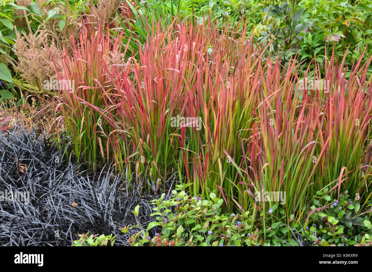 Imperata cylindrica red baron stock photos imperata - Imperata cylindrica red baron ...