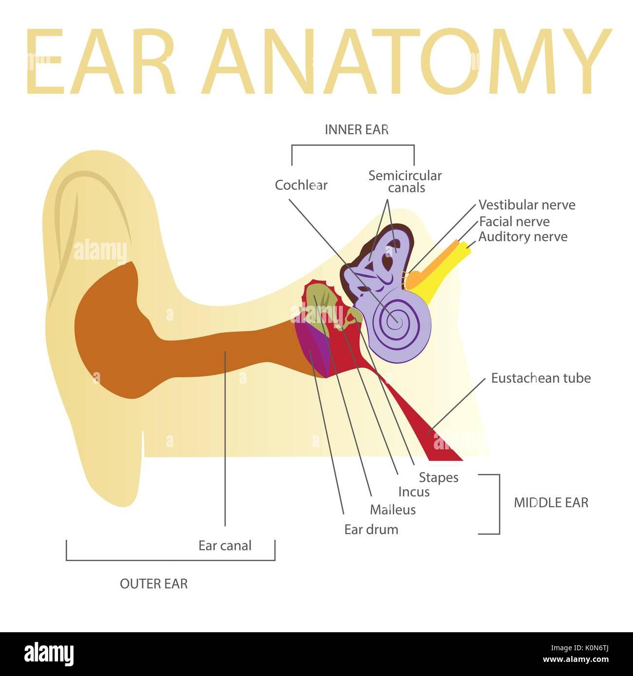 human ear anatomy vector illustration Stock Vector Art ...