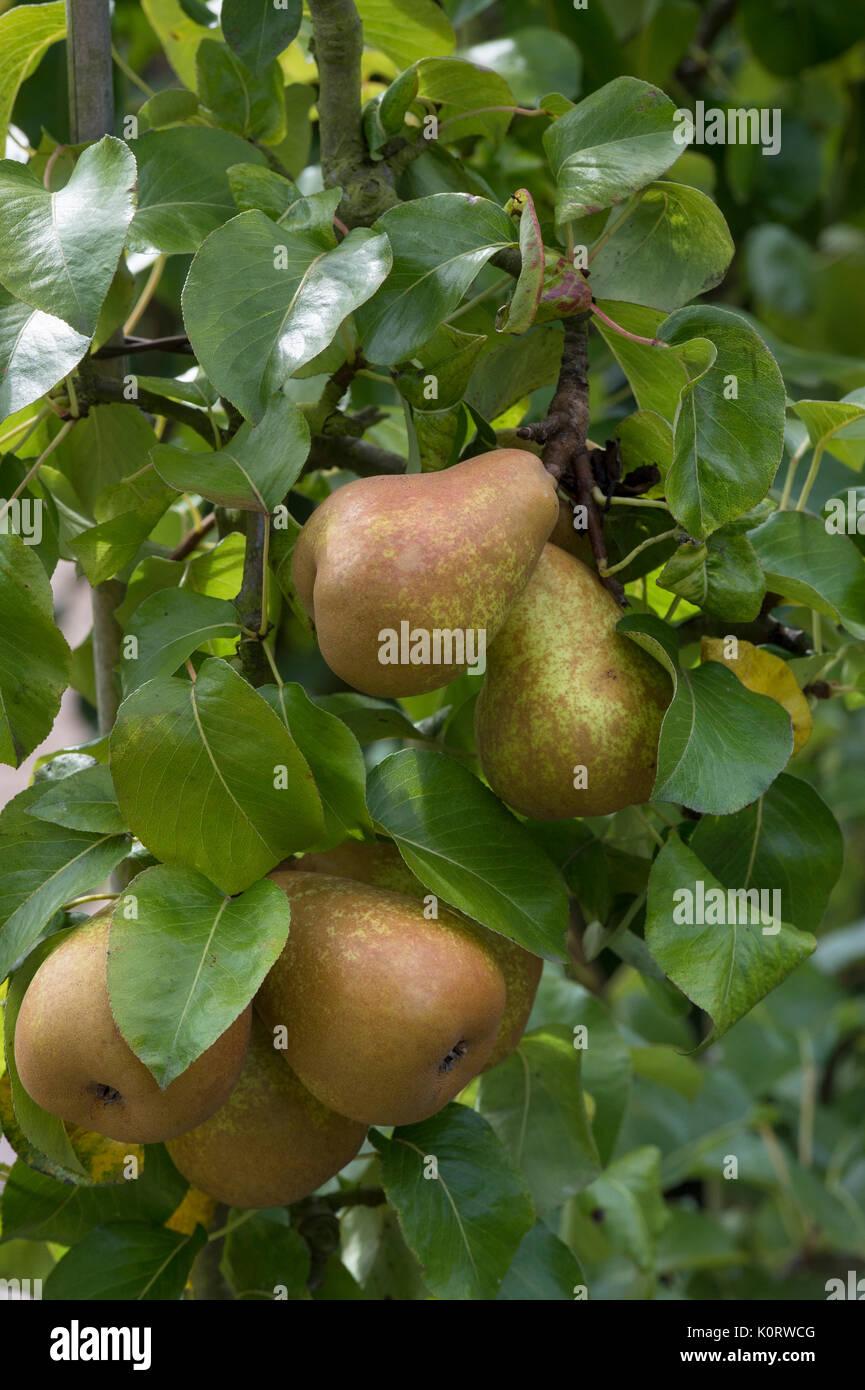 how to fan train fruit trees