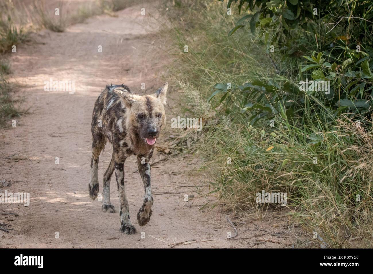 African wild dog running