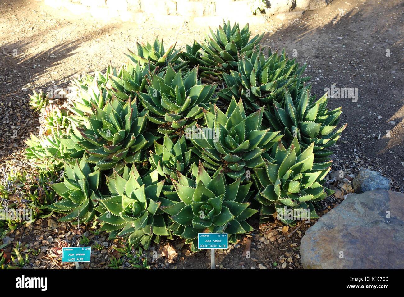 Aloe Perfoliata (Aloe Nobilis) San Luis Obispo Botanical Garden DSC05955