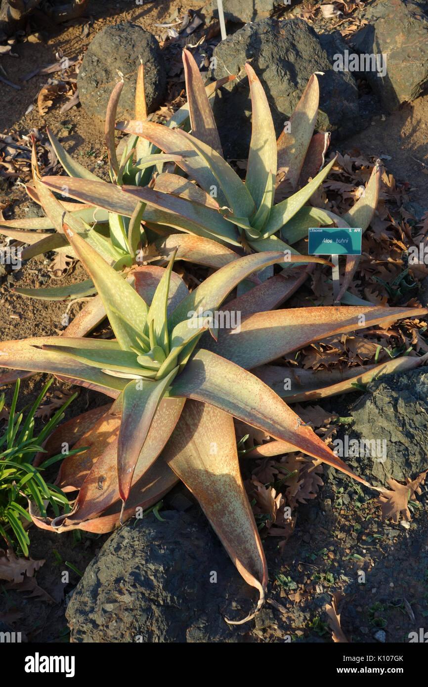 Aloe Buhrii San Luis Obispo Botanical Garden DSC06056