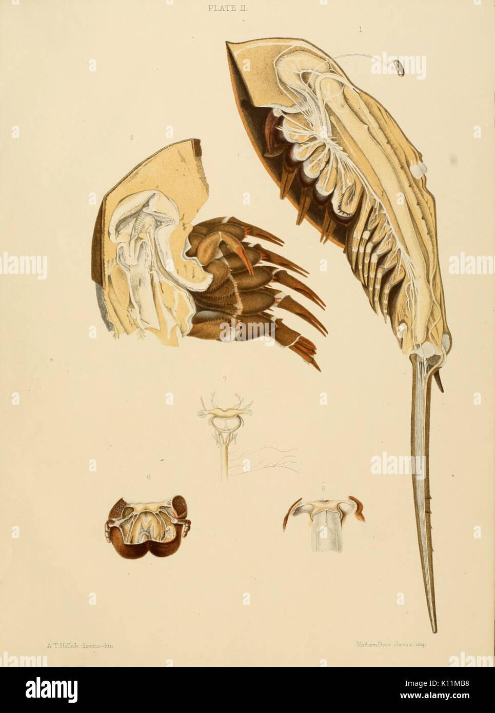 Anatomy of the king crab (Limulus polyphemus, Latr.) (Plate II Stock ...