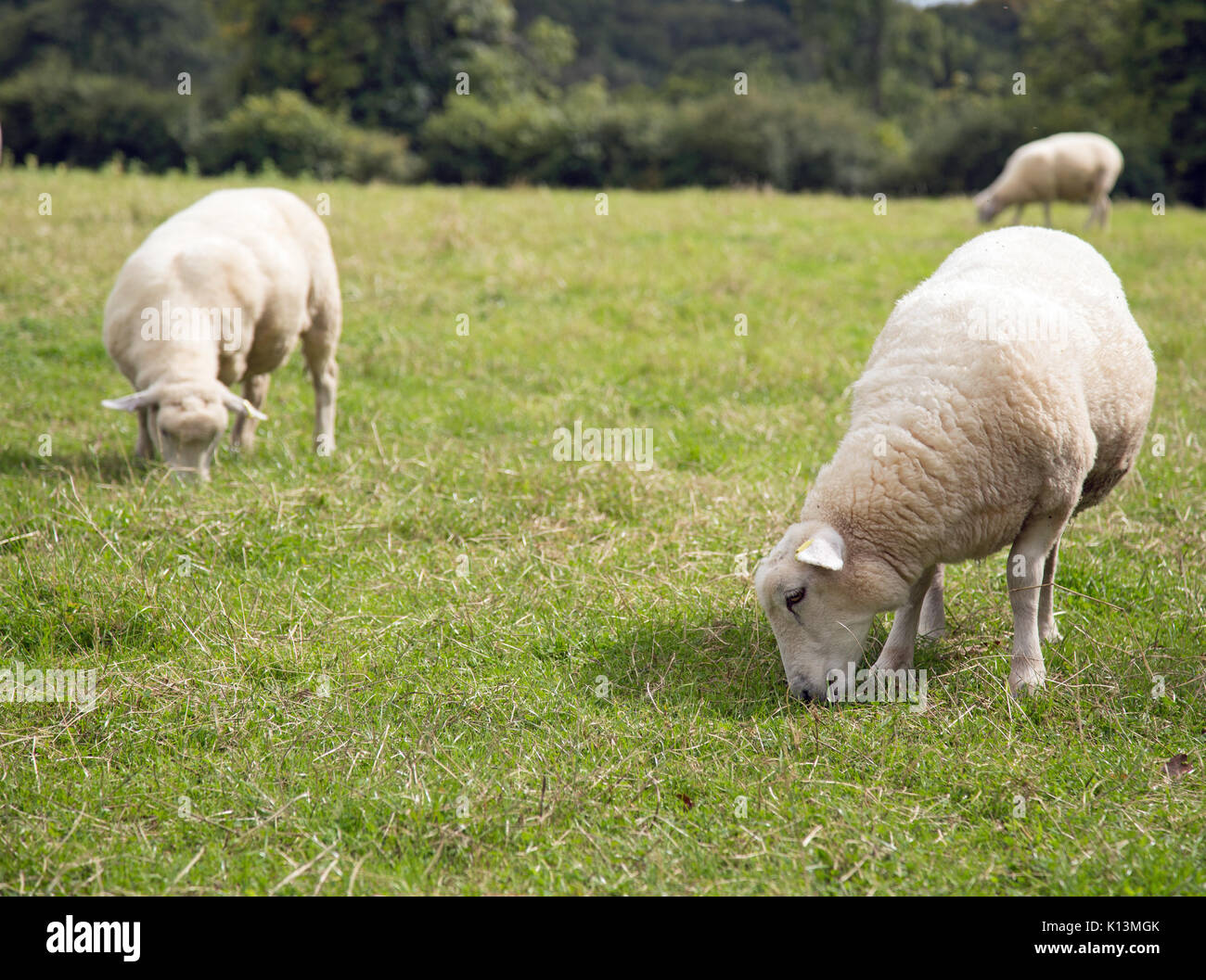Sheep Tails Stock Photos & Sheep Tails Stock Images - Alamy