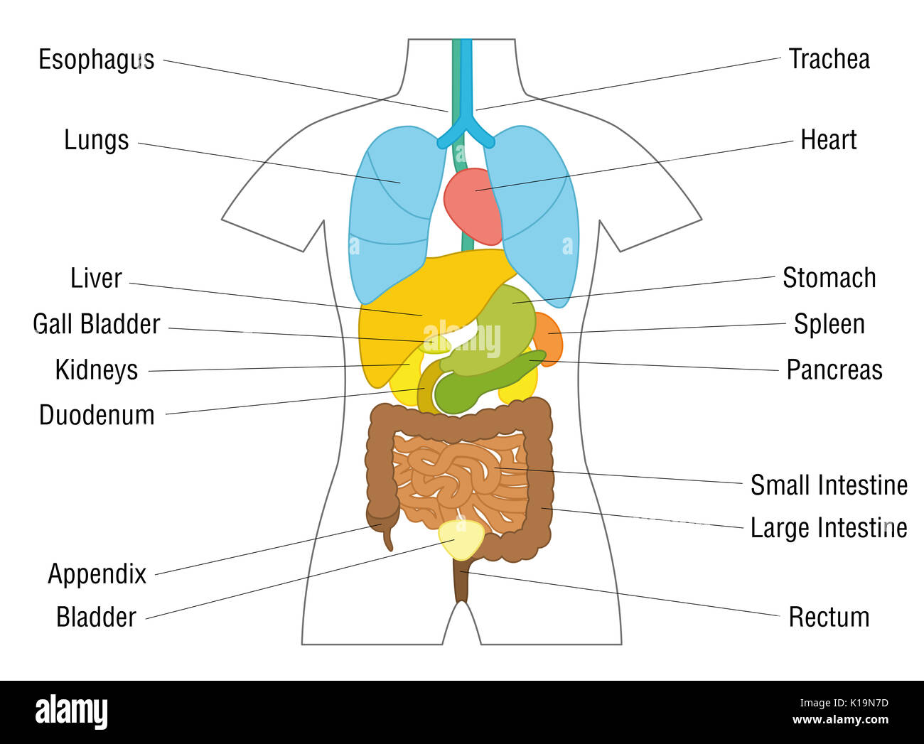 Internal organs chart - schematic anatomy diagram with colored ...