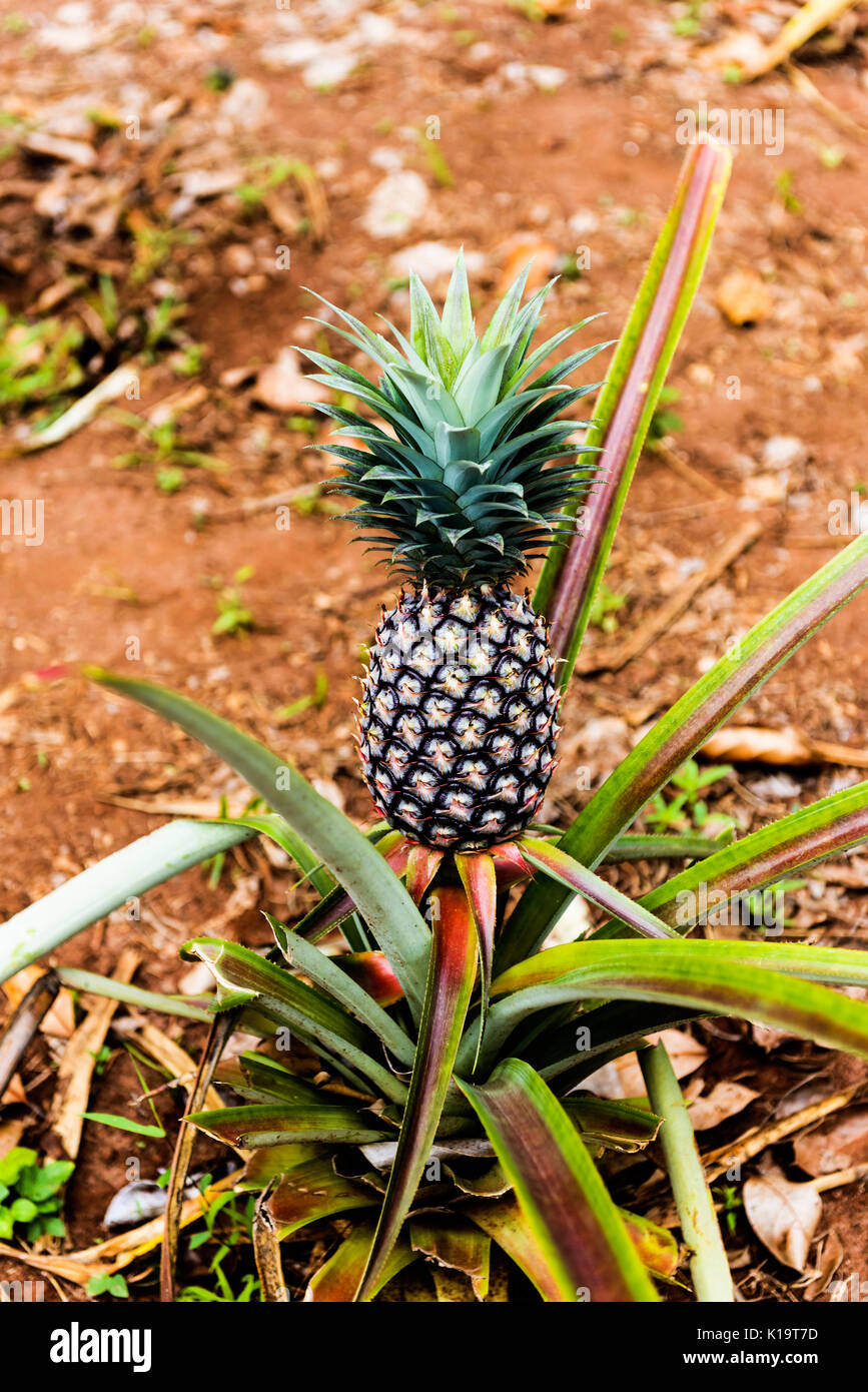 pineapple plant zanzibar tanzania africa stock photos pineapple plant zanzibar tanzania africa. Black Bedroom Furniture Sets. Home Design Ideas