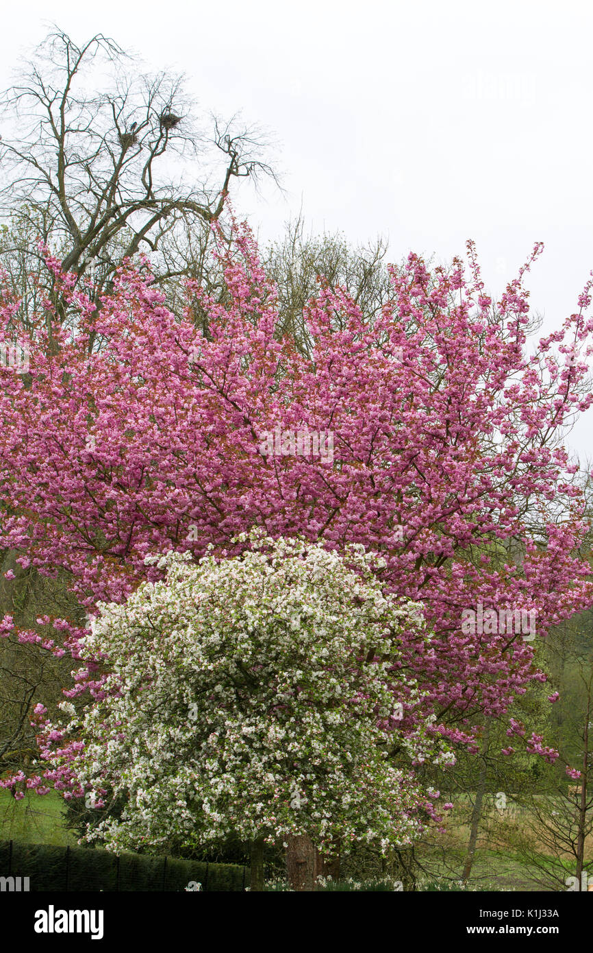 Trees In Full Blossom With White And Pink Flowers In Spring In Stock