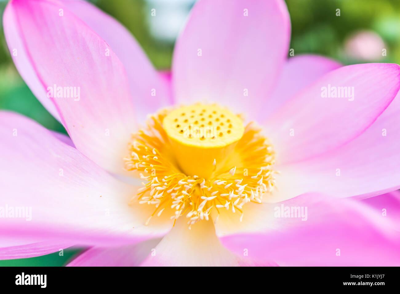 Macro Closeup Of Bright Pink Lotus Flower With Yellow Seedpod Inside