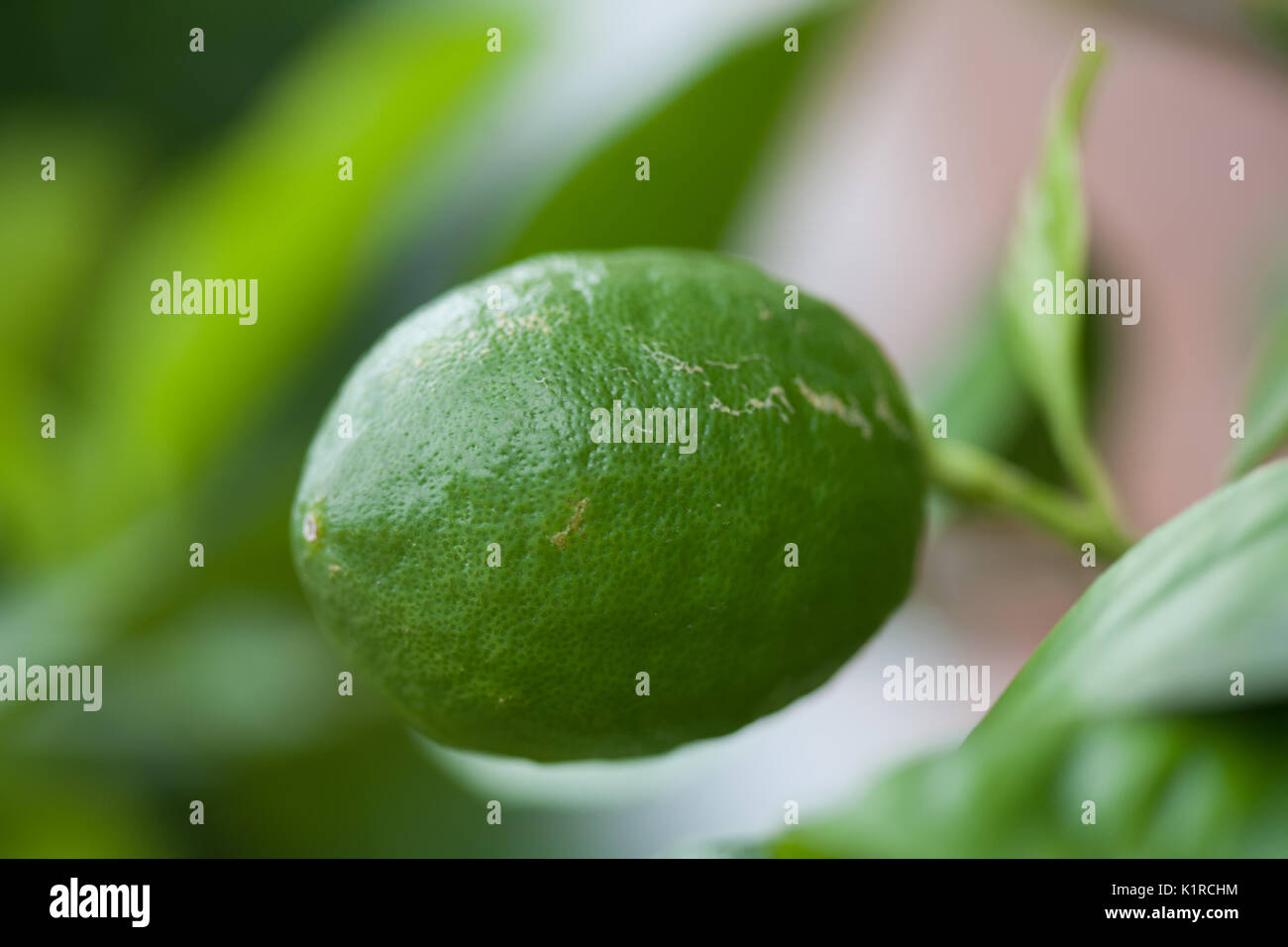 Florida Citrus Stock Photos Amp Florida Citrus Stock Images