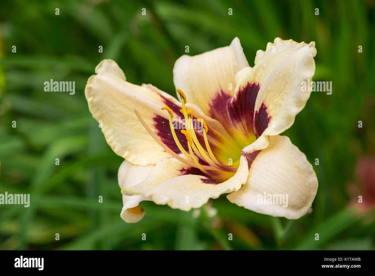 Day lily flower aka hemerocallis blooming closeup view stock photo day lily flower aka hemerocallis blooming closeup view izmirmasajfo Images